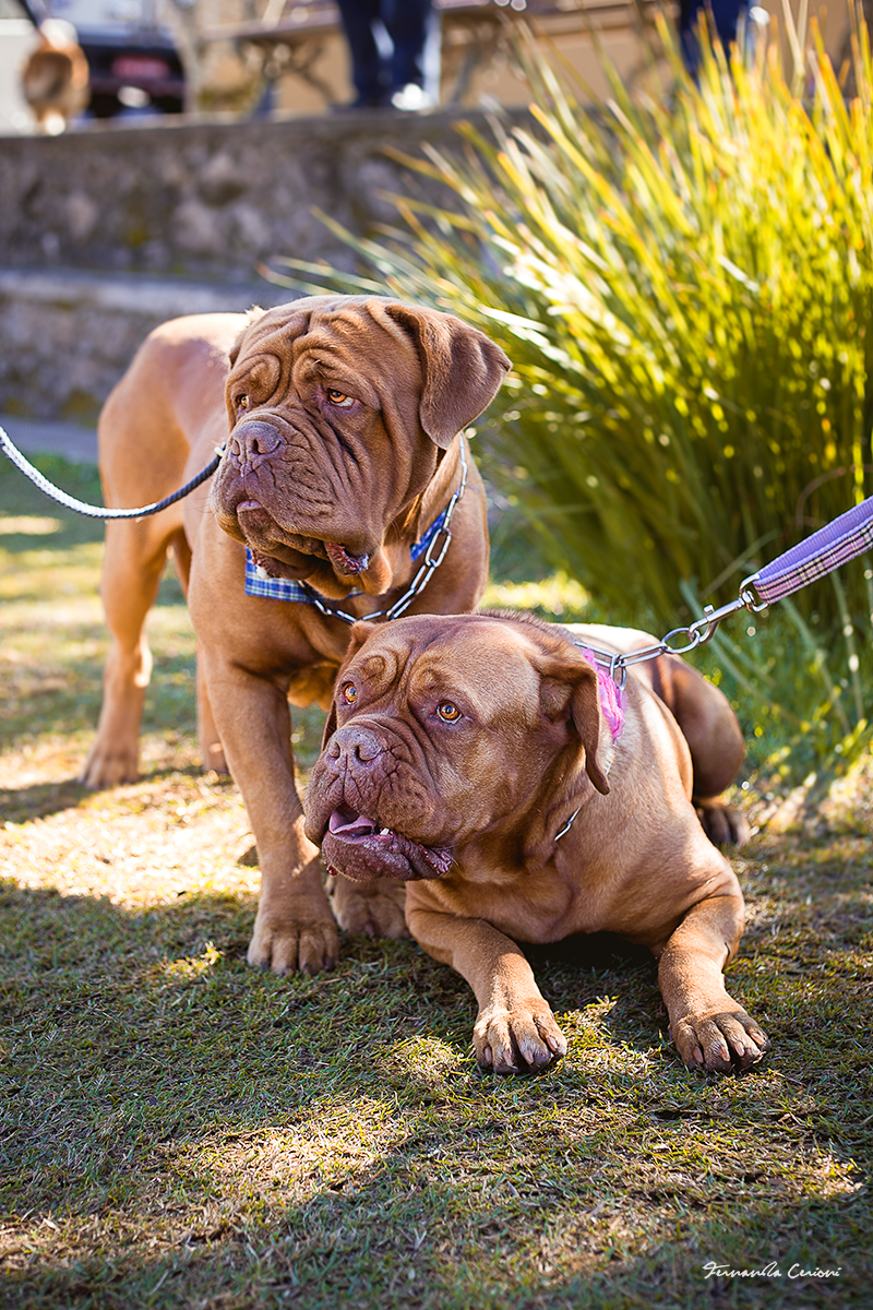1_DOGUE_BORDEAUX_Fernanda_Cerioni_Fotografia_Pet
