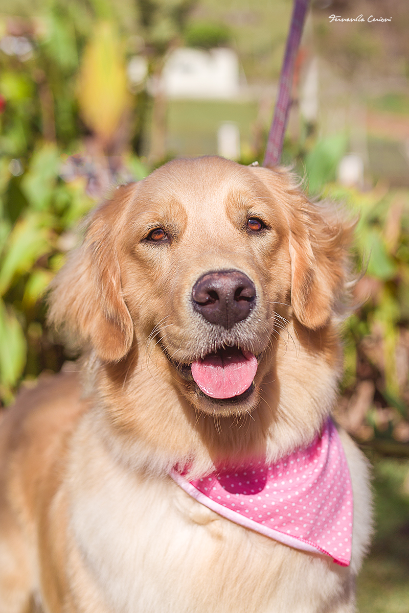 5_Maya_GOLDEN_RETRIEVER_Fernanda_Cerioni_Fotografia_Pet
